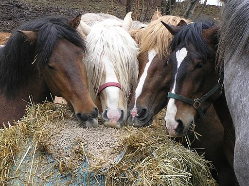 Finnhorse stallions lunch time