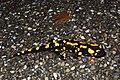 Fire Salamander (Salamandra salamandra) (8655467369).jpg