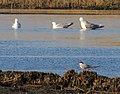Fisktärna Common Tern (13920620558).jpg