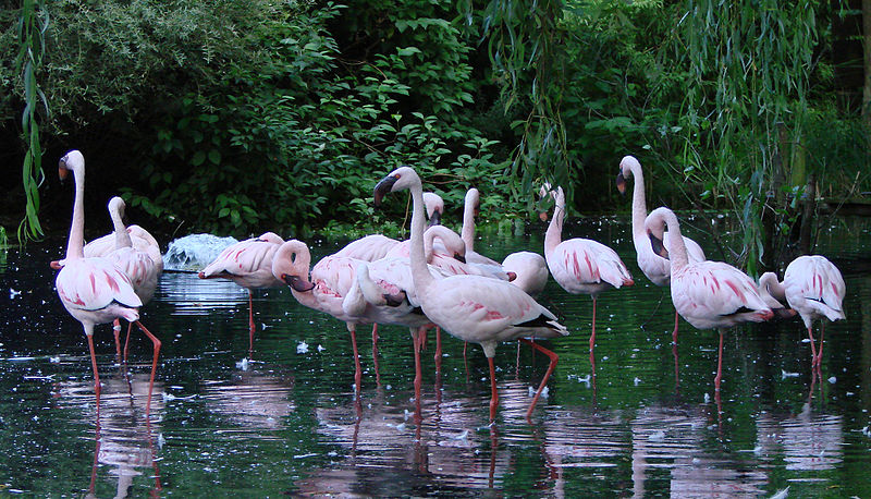 Lesser Flamingos in a Zoo in France