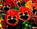 Flame Pansies (5544792917).jpg