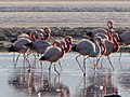 Flamingos closeup (4320125821).jpg