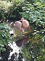 Flamingos in the Roof Gardens, Kensington - geograph.org.uk - 464443.jpg