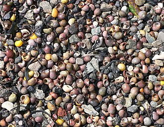 Littorina obtusata - L. obtusata: various shell colours