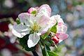 Flickr - law keven - Apple Blossom.....jpg