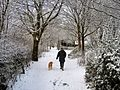 Flickr - ronsaunders47 - DOG TAKING MAN FOR A WALK. WARRINGTON. CHESHIRE UK..jpg