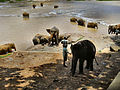 Flickr - ronsaunders47 - ELEPHANTS BATH TIME .2 SRI LANKA..jpg