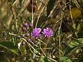 Flora of Tanzania 3881 Nevit.jpg