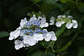"Flower, Hydrangea ""White wave"" - Flickr - nekonomania (1).jpg"