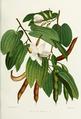 Flower-bauhinia-acuminata.png