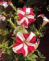 Flowers - Uncategorised Garden plants 35.JPG