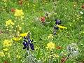Flowers of Israel13.jpg