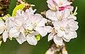 Flowers of Malus domestica (9).jpg