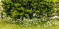 Fluitenkruid (Anthriscus sylvestris). Locatie, Natuurterrein De Famberhorst.jpg