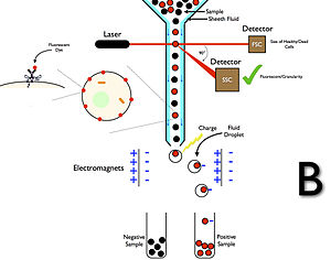 Flow cytometry - Wikipedia