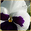 Fly on Pansy 5-4-14 (14212909832).jpg