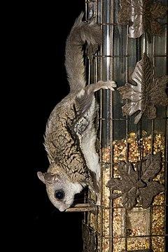 240px flying squirrel