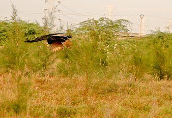 Flying peacock.jpg