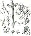 Forest Flora NSW Plate 48 Callitris muelleri.jpg