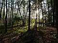 Forest at northeast of the Teufelsbruch swamp 1.jpg