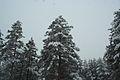 Forest near Ob river in Altai Region 27.JPG