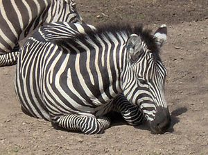 Fort Worth Zoo - A zebra at Fort Worth Zoo, 2005