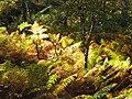 Fougères en forêt de Fontainebleau2.JPG