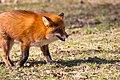 Fox (27464967234).jpg
