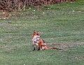 Fox (4441427868).jpg