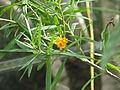 Freylinia lanceolata (16636329991).jpg