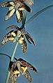 Fritillariaatropurpurea.jpg