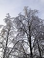 Frozen trees on Dubrovka.jpg