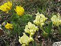 Fruehlingsadonis Zwergschwertlilien FoNo.jpg