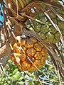 Fruits du pandanus - Flickr - uphillblok.jpg