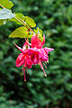 Fuchsia 'Lynn Ellen'.jpg