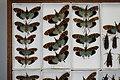 Fulgoridae Drawers - 5036108689.jpg