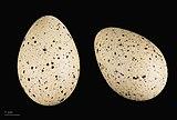 Fulica cristata MHNT.ZOO.2010.11.68.5.jpg