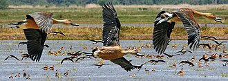 Fulvous whistling duck - In flight, showing black-and-white tail pattern