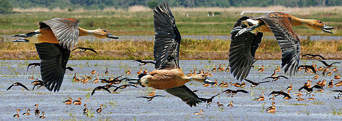 fulvous whistling duck wikipedia