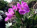 G20090307-3563--Arabis blepharophylla--RPBG (8590449829).jpg