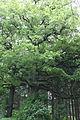 GLT 184 Detail Quercus.JPG