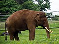 GOC Woburn 084 Asian Elephant (Elephas maximus), Woburn Safari Park (23236856515).jpg