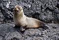Galapagos fur seal Santiago Puerto Egas.jpg