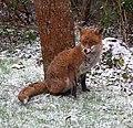Garden Fox 2 (6817821333).jpg