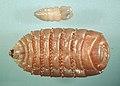 Gasterophilus-larvae.jpg