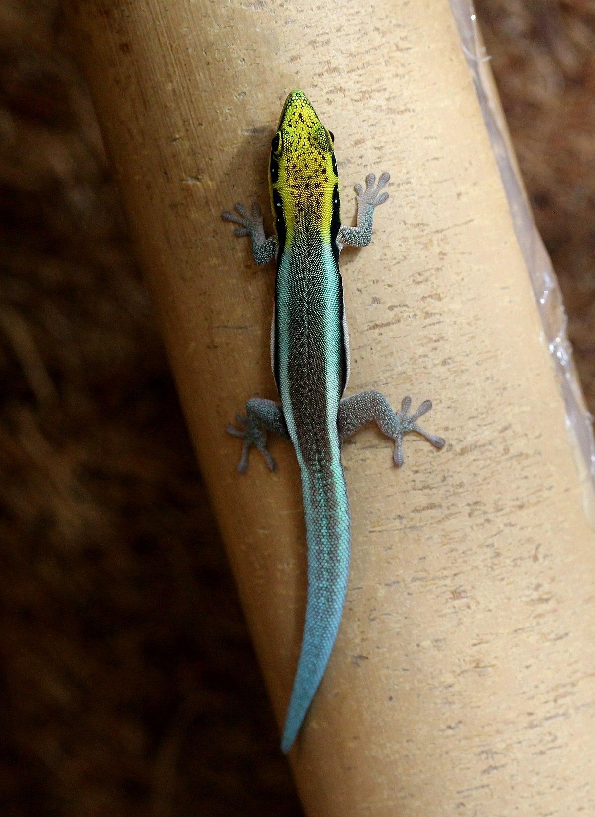 Blauer Bambus-Taggecko – Wikipedia
