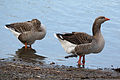 Geese in North Pond, Chicago.jpg