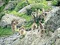 Gelada monkeys fighting - panoramio.jpg