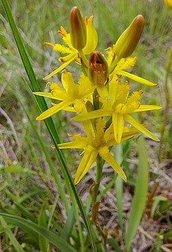 Gelbe Moorlilie (Narthecium ossifragum) Naturpark Südheide 20200704 (5).jpg