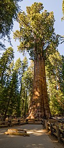 General Sherman Tree 2013.jpg
